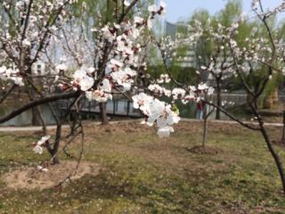 上海中医薬大学の杏の花は今が見頃でした