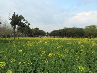 世紀公園の菜の花