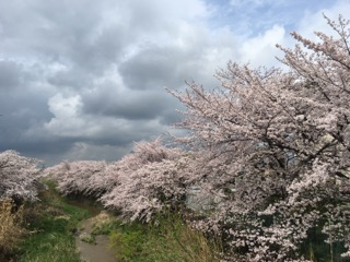 奈良橿原飛鳥川の桜