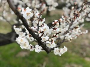 上海でも梅がキレイに咲いています
